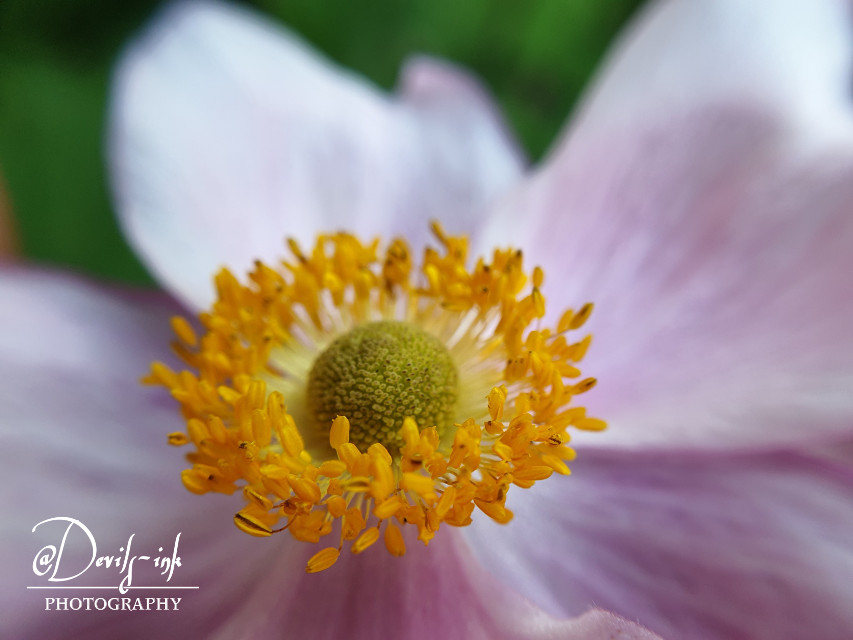 5th flower macro collection no.7  Briar Rose - Rosa canina  #freetoedit #photography #flower #macro #nature