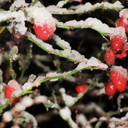 pictureoftheday snow myphotography rosehips flashlight