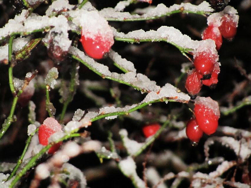 #pictureoftheday #Snow #myphotography #rosehips #flashlight