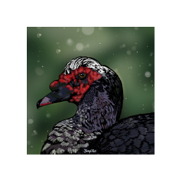 drawing digitalpainting muscovy duck red