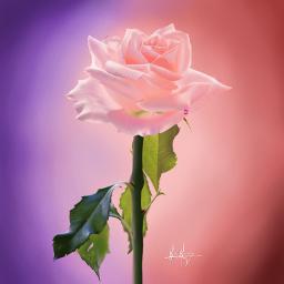 rose pinkrose art digital_art beautiful
