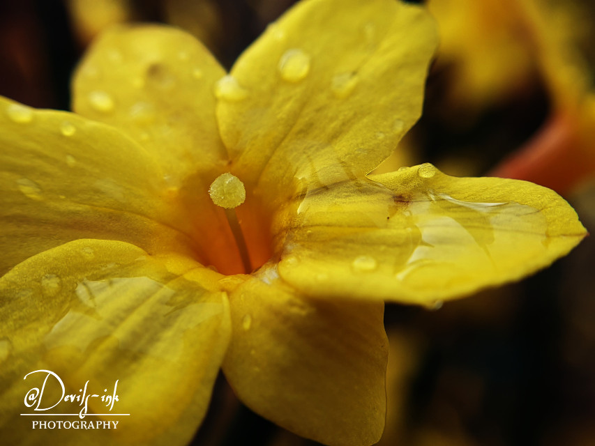 5th flower macro collection no.10  Winter jasmine - Jasminum nudiflorum  #freetoedit #photography #flower #macro #nature