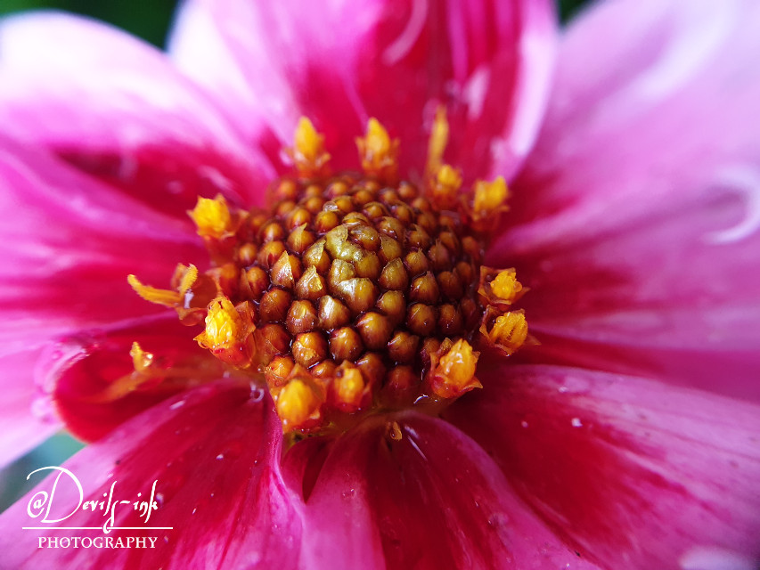 5th flower macro collection no.11  Garden dahlia - Dahlia pinnata  #freetoedit #photography #flower #macro #nature