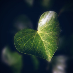 leaves green heart ivy blureffect freetoedit