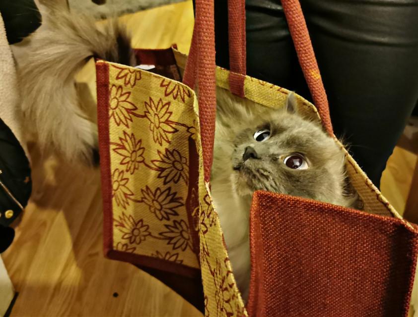 Empress likes different types of bag's #cat #catinabag #petsandanimals #cute  #freetoedit