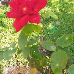 freetoedit srcrosepetals rosepetals