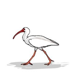 simple linedrawing ibis bird animal freetoedit