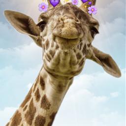 freetoedit heartscrown giraffe echeartcrowns heartcrowns