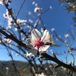 cherry tree sky white pink pcsinglestilllife singlestilllife