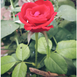 rose photography nature mobclick india