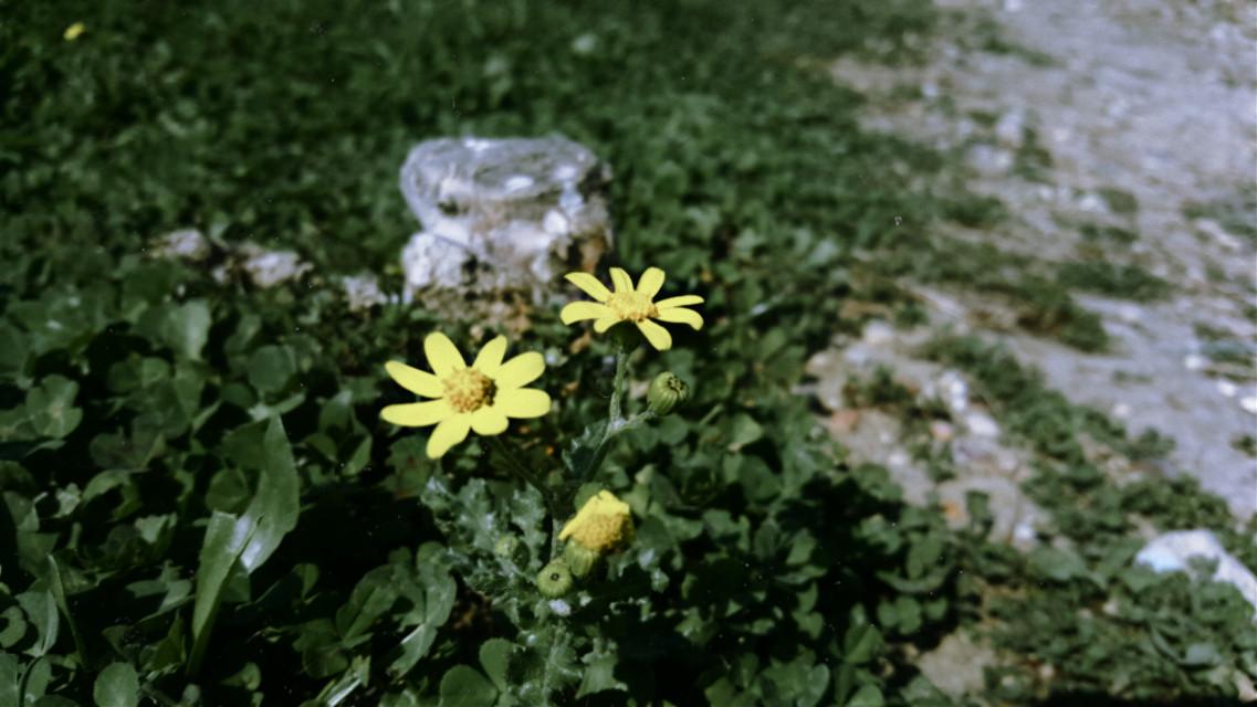 #freetoedit #photography #mycam #flower #tinysunflower #yellow #spring #picsart  @picsart