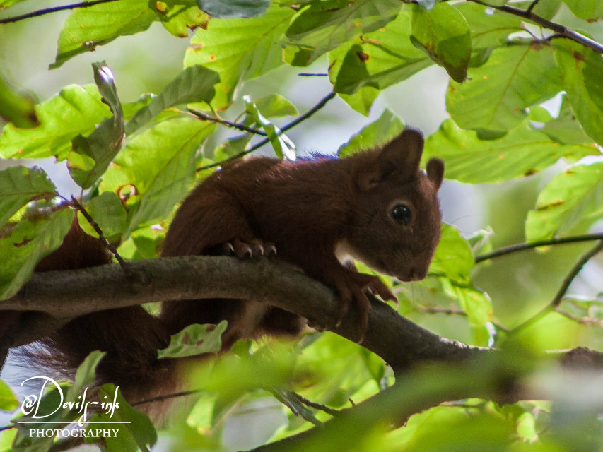 3rd pets & animals collection no.2  Red squirrel - Sciurus vulgaris  #freetoedit #photography #squirrel #nature #petsandanimals