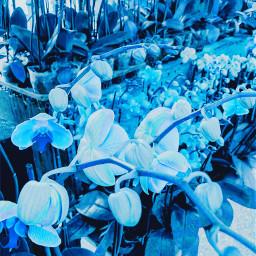 flower blue bluetheme bloom spring freetoedit