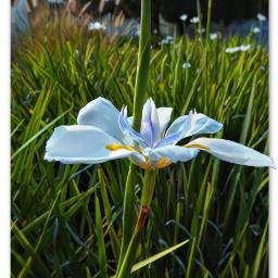 myphotography flower flowerhead iris growth