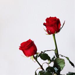 freetoedit red redrose rose flowers