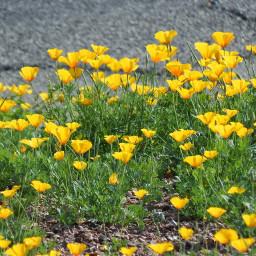 freetoedit flowers poppies amapolas beautiful