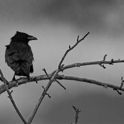 photography blackandwhite bnw bird crow freetoedit
