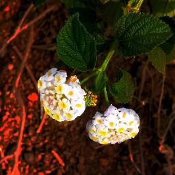 nelsonmandela flowerhead flowersforlove flowerslovers flowerslucymy