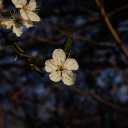 flowers flower nature flowerpower blossoms freetoedit