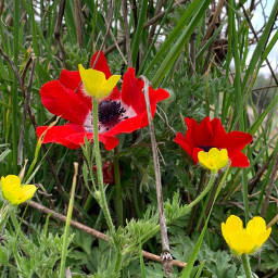 poppy كاميرا_لمى springflowers springday spring freetoedit