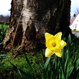 trees daffodil lowangle nature outandabout freetoedit