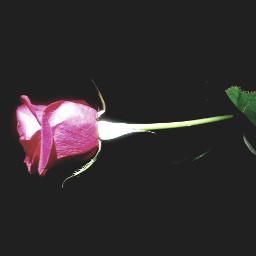 rose beautiful simple photography pclightingthedark