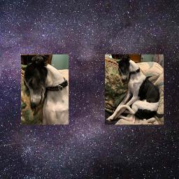 whippet whippetsofinstagram dog doggo dogsofpicsart freetoedit