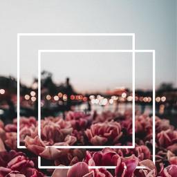 freetoedit background flowers tulips art