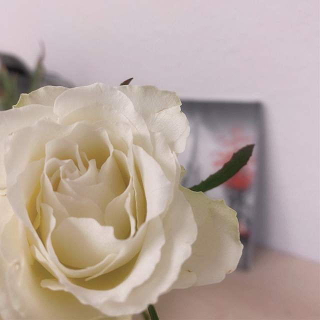 #flower #whiterose