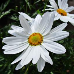 freetoedit flowers daisyflower daisy