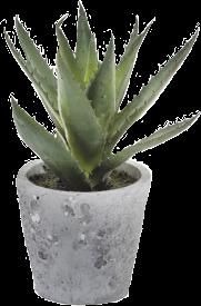 succulent aloevera freetoedit