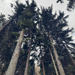 aesthetic aesthetics forest pine freetoedit