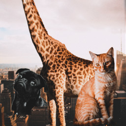 freetoedit animals girraffe cats dogs ecgiantanimals giantanimals