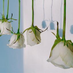 white rose nature flower