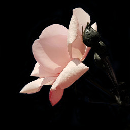 rose flower photography pink minimalist