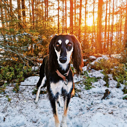 saluki sunset sighthound life outdoor