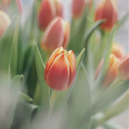 flowers tulips flowerarrangement stilllife indoors freetoedit