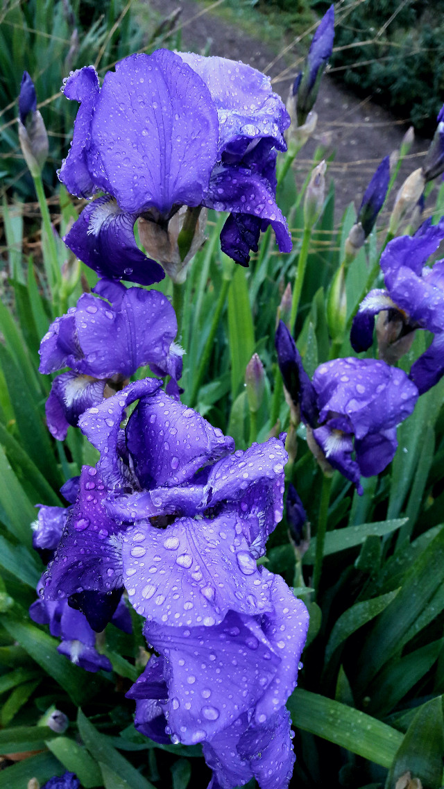 Iris sotto la pioggerellina primaverile #freetoedit #flowers #raindrops #spring #nature #blueflowers #emotions #myoriginalphoto