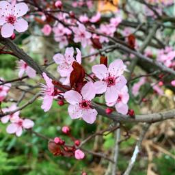 flower spring cherryblossom blossom nature freetoedit