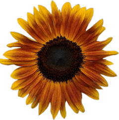 sunflower stickerfun freetoedit