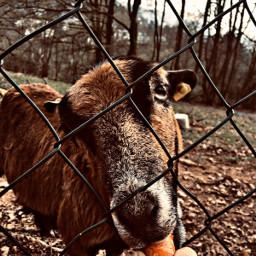 goat cute