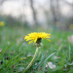 dandelion yellowpetals naturalbokeh springflowers the freetoedit