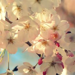 spring cherylblossom nature japan