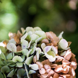 nature flowers hydrangea bluredbackground depthoffield freetoedit