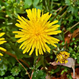 dandelion springflowers tinyflowers
