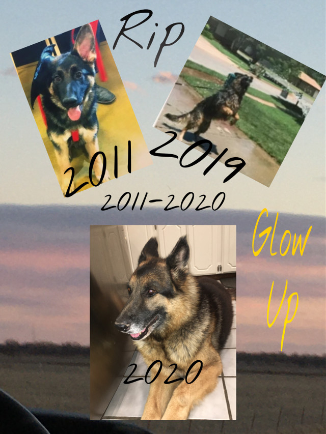 """🥺Fly High Baby🥺    #germanshepherd #germanshepherdpuppy #germanshepherddog #glowup #dog #GSD #gsdpuppy #gsdforlife #gsdlove #love #rip #flyhighbaby #flyhigh #animal #brutus #doggie #germanshepherdfamily #germanshepherdglowup #gsdglowup       ✨Question of the week✨ """"What is your Zodiac sign?"""" Mines a Libra (♎️)      💚Love Yall💚"""