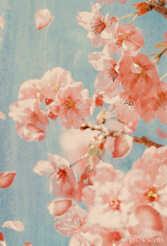 Spring's pink showers of cherry blossom petals #freetoedit#spring#bluesky#pinkflowers#cherry blossoms#myedit