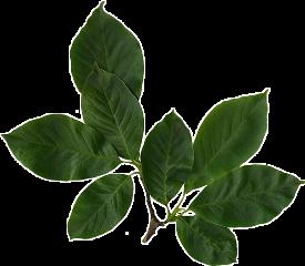 leaf leafs leaves plants plant freetoedit