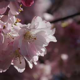 freetoedit blossom cherryblossoms naturephotography nature