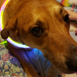 dixie labrador germanshepherd dog freetoedit pcpicsartpets picsartpets createfromhome stayinspired